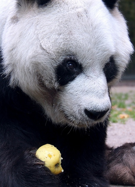 Marvelous A Panda holds an apple at Berlin Zoo Pandas are rare and cherished in China