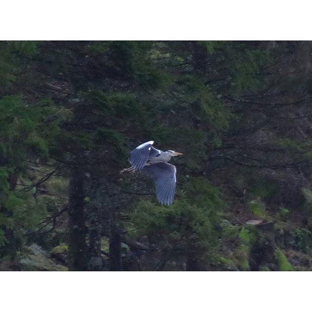 #norge#norway#natur#nature#norgefoto#mittnorge#TheElys#Norway2day#dreamchasersnorway#imagesofnorway#ilovenorway#DreamyNorway#norges_fotografer#vestlandsrevyen#InstagramNorway#dyr#animals#fugler#birds#hegre#heron#skog#forest#flyr#flying
