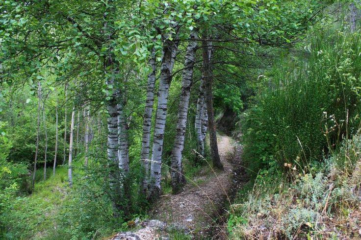 Ejemplares de abedul (Sierra de Segura, Jaén )