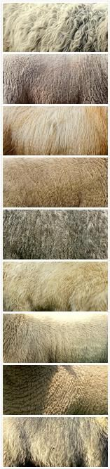 Coats of some British and Icelandic sheep breeds:      Greyface Dartmoor; Cheviot; Icelandic; Beulah; Cotswold; Welsh Mountain; Suffolk; Southdown; and British Milksheep.