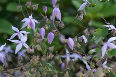 Thalictrum reniforme 1m, very big blooms