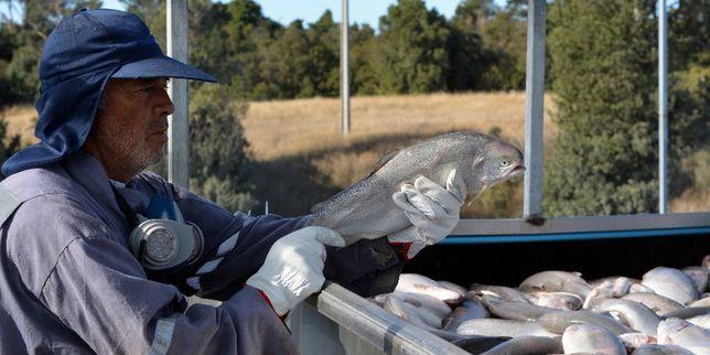 Le Chili lance un plan pour réduire le recours intensif aux antibiotiques dans son industrie du saumon, deuxième plus importante…