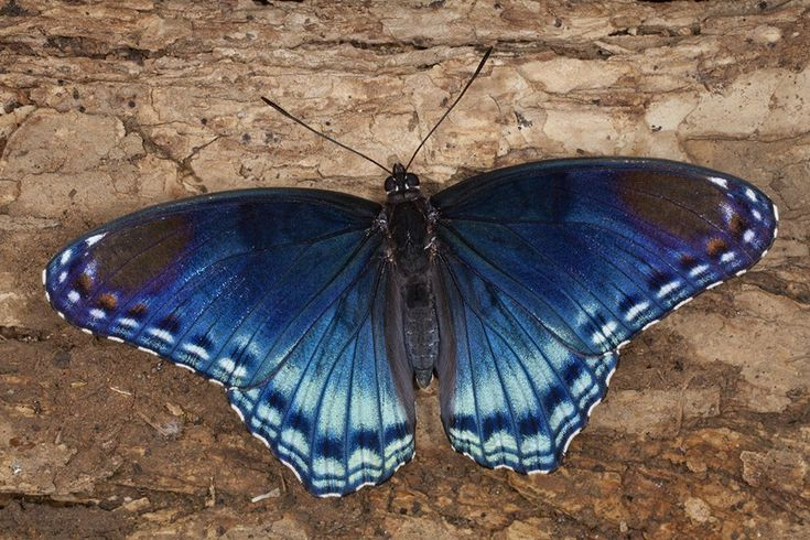 Red spotted purple butterfly (Basilarchia astyanax), middle Tennessee