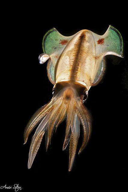 BackLight Squid , by amirst1, via Flickr