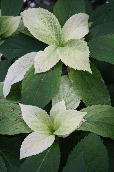 Summer Frost Hydrangea for sale buy Hydrangea 'Summer Frost' PPAF