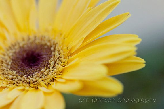 yellow flower photography - gerber daisy - yellow home decor - macro - nature photography - flower petals - yellow wall art