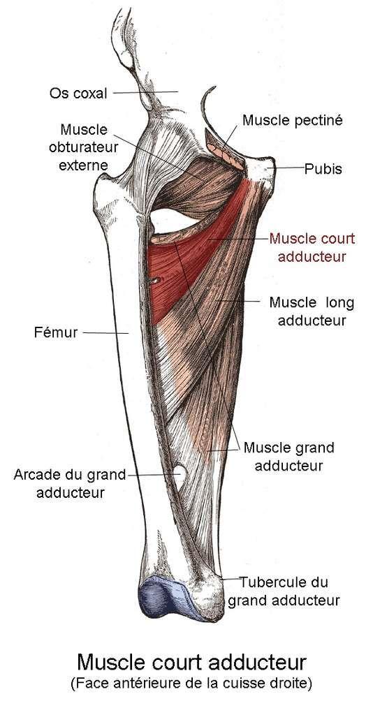 Localisation du muscle court adducteur par rapport aux autres muscles
