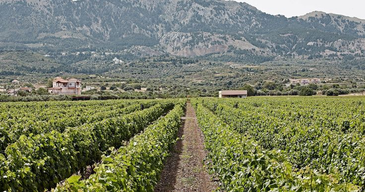The Hatziemmenouil vineyards. #Kos