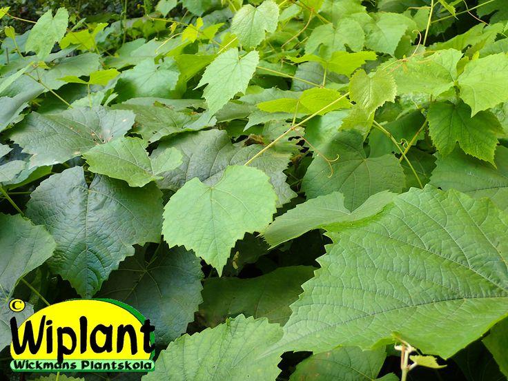 Vitis 'Zilga', vinranka. Klätterväxt som även kan användas som marktäckare.