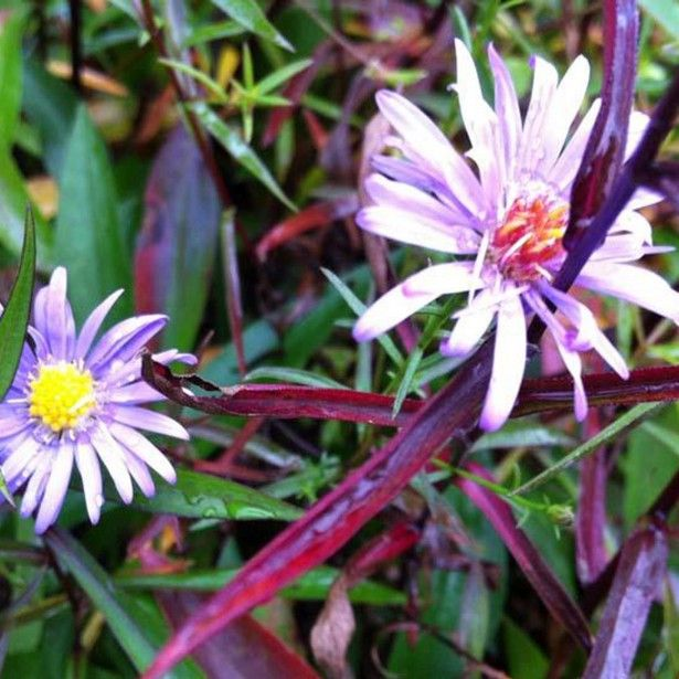 Aster turbinellus - Aster buissonant d'automne