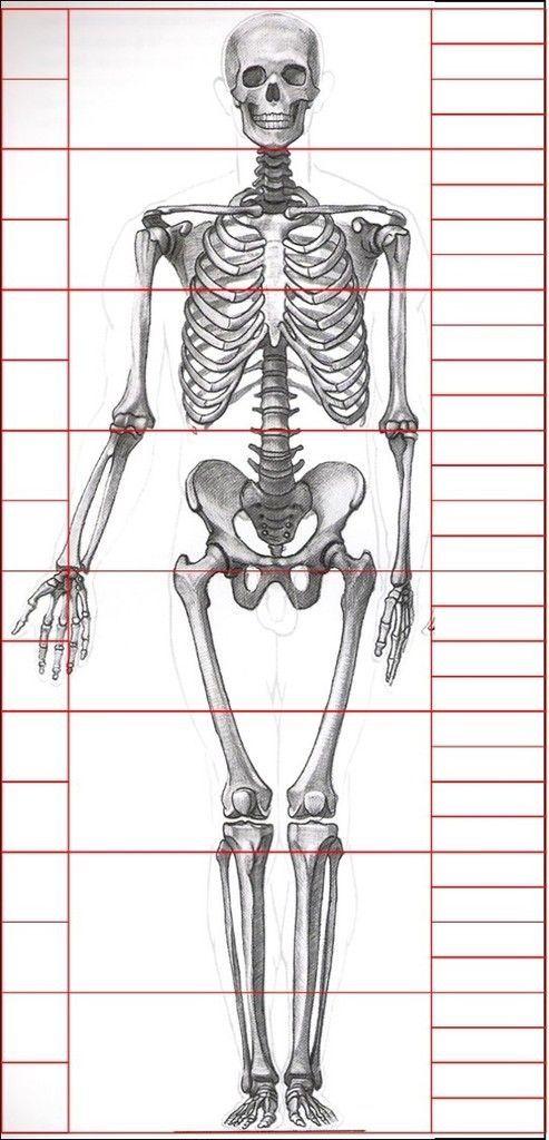 Anatomia esqueleto