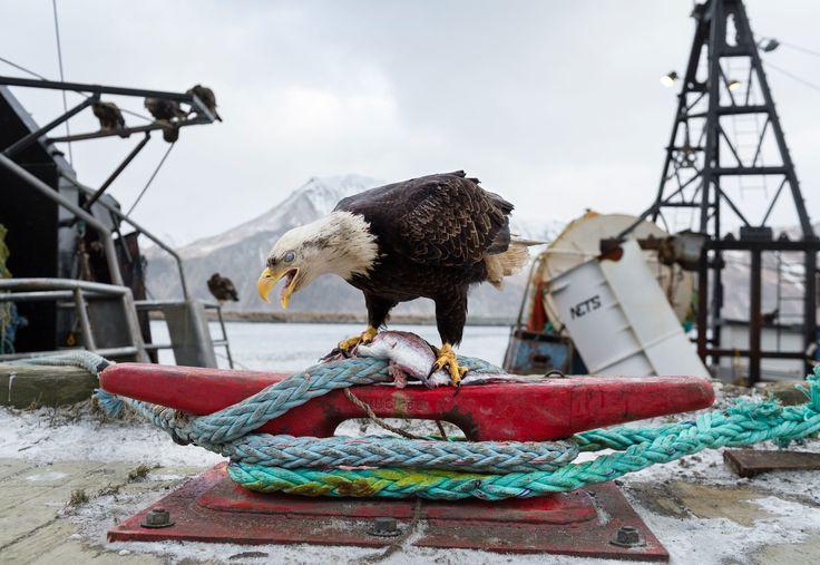 The Alaskan Harbor Where Bald Eagles Scavenge Like Pigeons | WIRED
