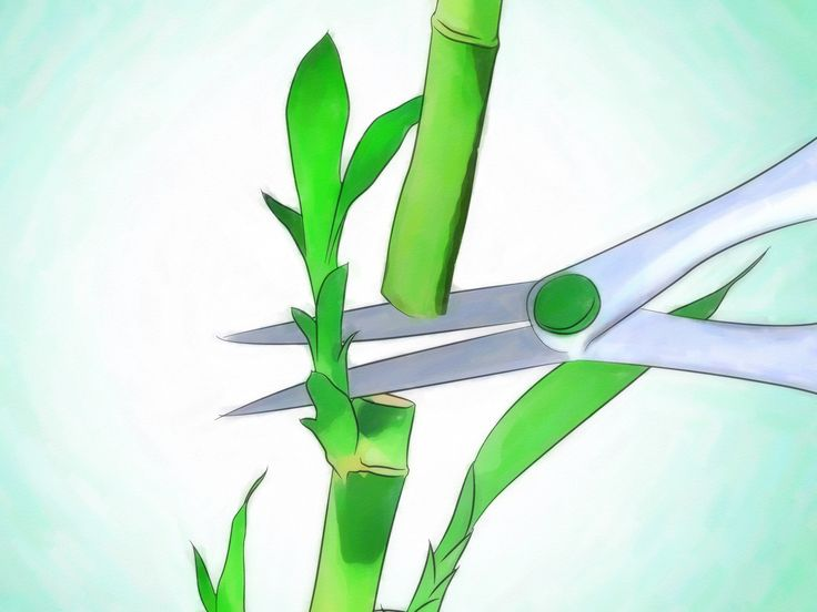 Lucky bamboo is an easy-to-care-for houseplant that grows well in low, indirect light. This plant, which isn't really bamboo at all, but instead is a type of tropical water lily called Dracaena sanderiana, is from Africa and is said to...