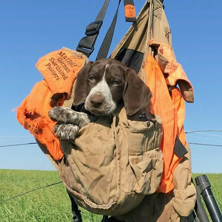 21 besten lets get a pup Bilder auf Pinterest   Jagdhunde, Hunde und ...