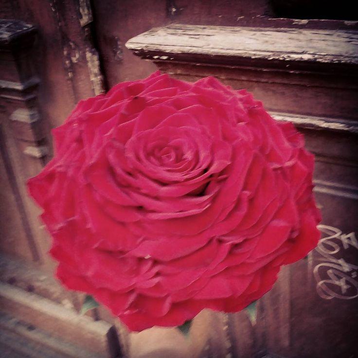 """2 aprecieri, 1 comentarii - Floraria Dorothy's (@florariadorothys) pe Instagram: """"Giant red rose for the bride.. #bridebouquet #cluj #clujlife #clujnapoca #lifeincluj #viataincluj…"""""""