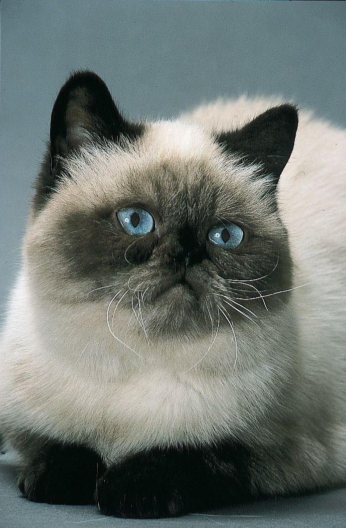 exotic shorthair | Exotic (Exotic Shorthair) | Cat Breeds at myPetSmart.com