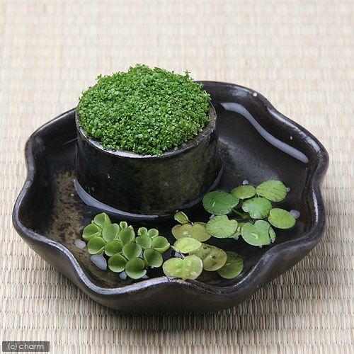 (水草)私の小さなアクアリウム ~わびさび益子焼 炭化 丸 小のキューバパールグラスと浮き草のセット受皿付~ 本州・四国限定