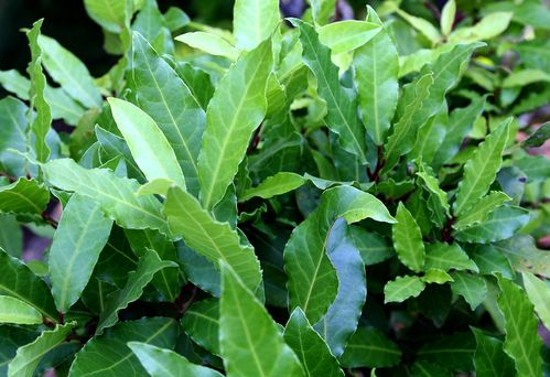 Fiche plante : Laurier sauce