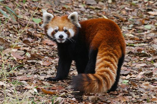 I LOVE RED PANDAS! They are my favorite animal cause they're just so CUTE!!!!
