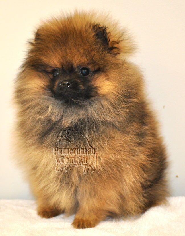 Pomeranian Pomeranianpuppy Orange Sable Pomeranian Puppy Pomeranian Puppy Pomeranian Puppy Dog Personality Pomeranian Breed