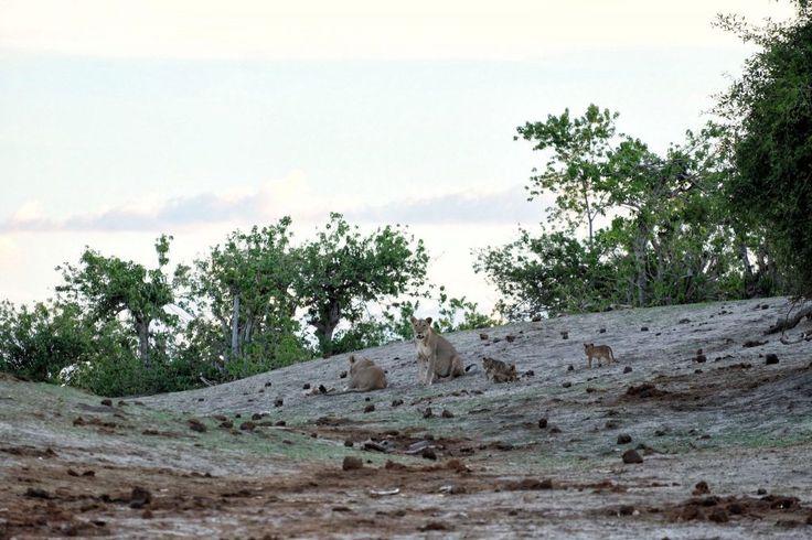 Lions along the Chobe River.