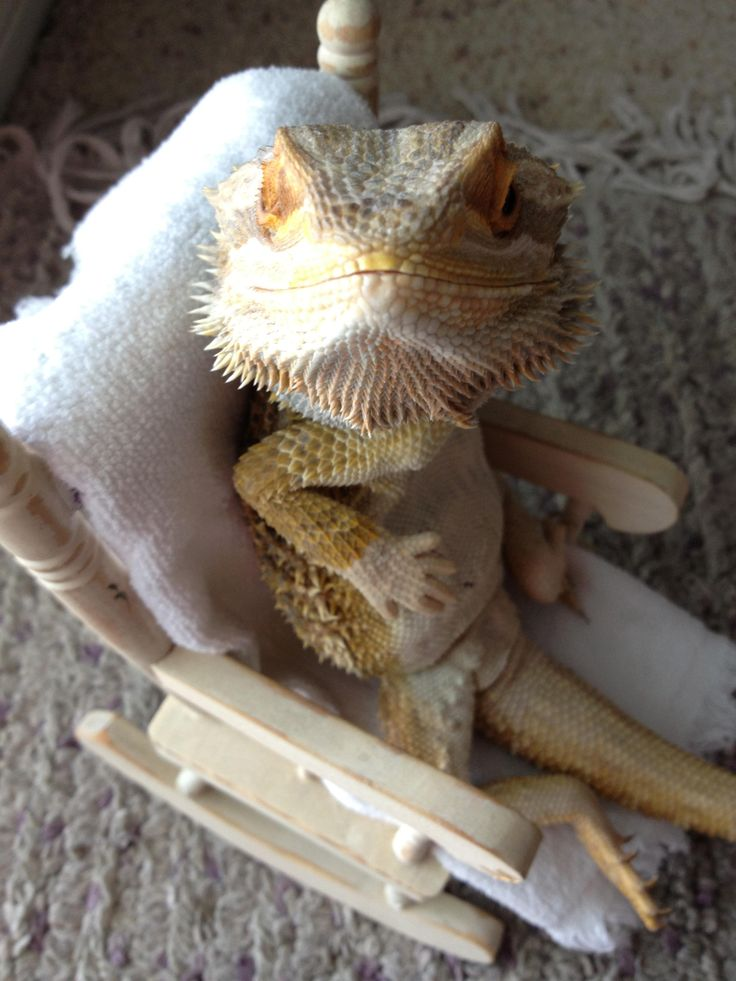 Bearded Dragon chills in chair...