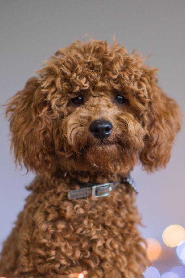 Poodles Smart Active And Proud Poodle Toy Poodle Dog Breeds