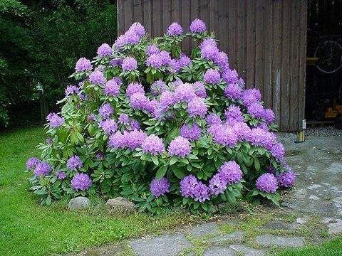 Rododendron wielkokwiatowy Catawbiense grandiflorum jasnofioletowy  -  Rhododendron Catawbiense grandiflorum -30