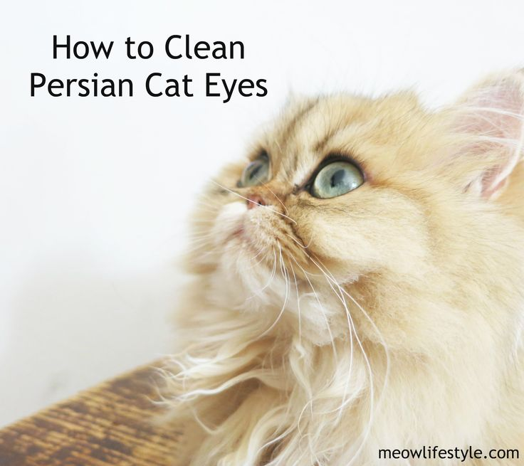 How to clean and care for Persian Cat Eyes. Keeping a Persian cat 's eyes clean is just as important as grooming.