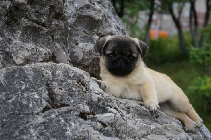 "Ice, Harley, Isabelle, Hercules, Honey  ... - Cute Pug Names Beginning with ""H"" and ""I"""
