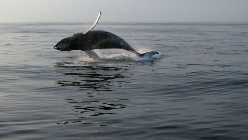 via Peace of Me, worldofwhales: Humpback whale / Patrick Hawks /...