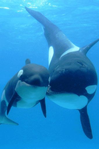 """Orcas -- Looks like Momma is saying, """"Stay close to me and, oh, I love you.""""  :-)"""