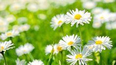 Vous voulez des plates-bandes toujours fleuries ? Plutôt que d'opter pour les sempiternels pétunias et géraniums, vous pouvez planter des vivaces dont la période de floraison est prolongée. Voici la description de quelques vivaces...