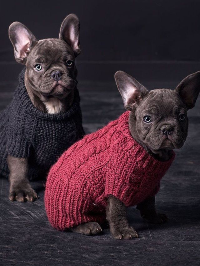 We Know Make Us Look Older French Bulldog Puppies Black Pug Puppies French Bulldog Breed