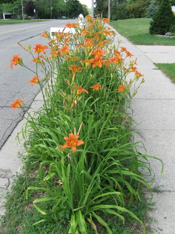Mailbox Between Road And Sidewalk Ditch Lilies Between The Road And Sidewalk Backyard