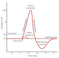 Image result for action potential graph unlabeled