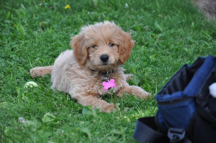 This is Gracey when she was a puppy,she is a Mini Golden Doodle