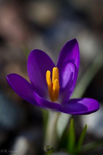 Crocus.....it's our provincial flower!!  -- Manitoba!