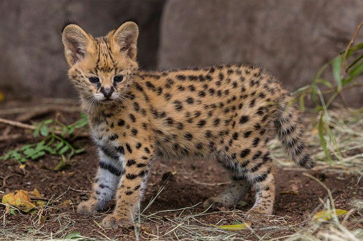 Five-Week-Old African Serval Kitten By San Diego Zoo