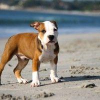 #dogalize Cura del cane pitbull: alimentazione e toelettatura #dogs #cats #pets