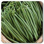 Organic Tavera Haricort Vert Bean seeds.  Extra slender, stringless French filet beans.   Available at High Mowing Organic Seeds