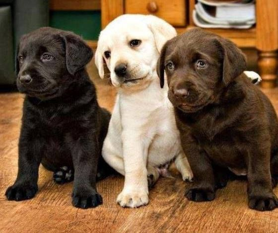 #labs #puppies #puppy #dog