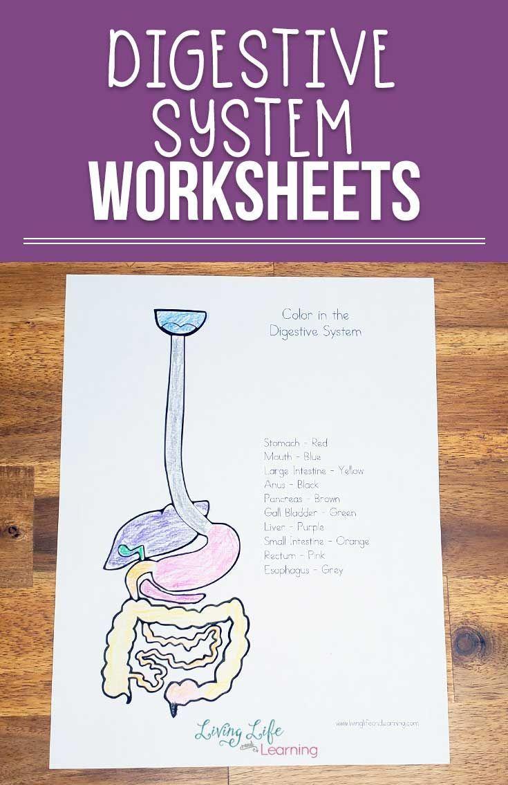 Digestive System Worksheets For Kids Digestive System Worksheet Digestive System Digestive System For Kids