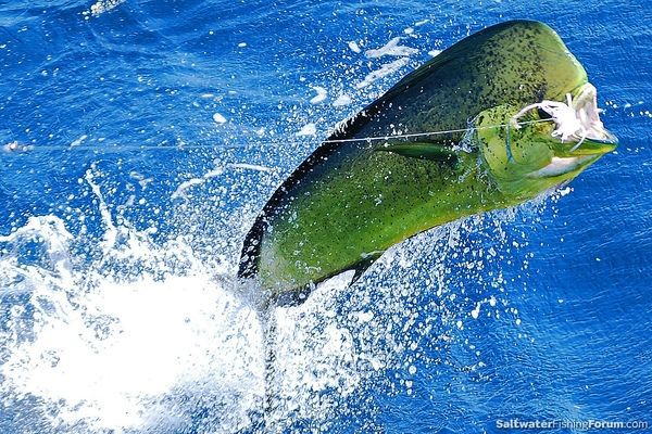 Dorado caught off san carlos mexico fish pics for Deep sea fishing san diego