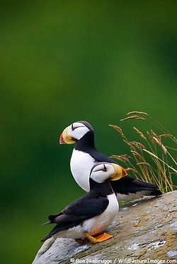 Puffins The Cutest Bird Ever