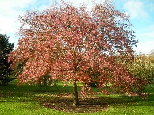 Гороскоп друидов дерево Рябина     Зодиак кельтов. Люди рожденные под знаком Рябины с 1 по 10 апреля и с 4 по 13 октября