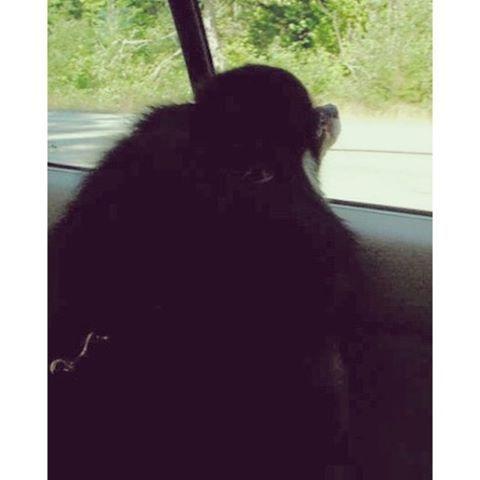 Cordelia the #pomeranian #dog (83 of 365) on the road 💚💚💚