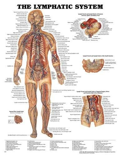 Lymphatic System Classic illustrations by Peter Bachin. Shows system throughout the body Illustrates internal iliac lymph node and lymph vessels & lymph nod