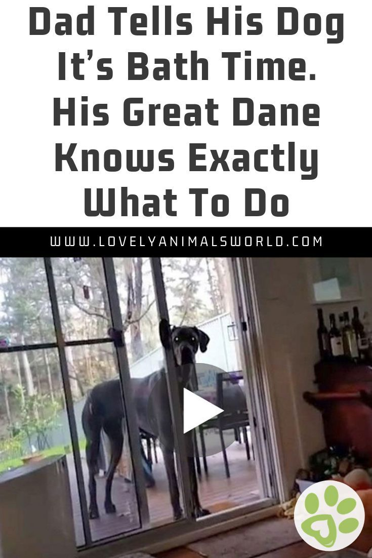 Dad Tells His Dog It S Bath Time His Great Dane Knows Exactly