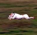 Run free!: Jack Russells, Russell Terriers, Russell Rules, Russells Rules